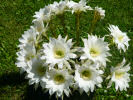 Echinopsis (ancistrophora ?) - 05.06.2013