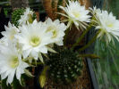 Echinopsis (ancistrophora ?) - 22.06.2014